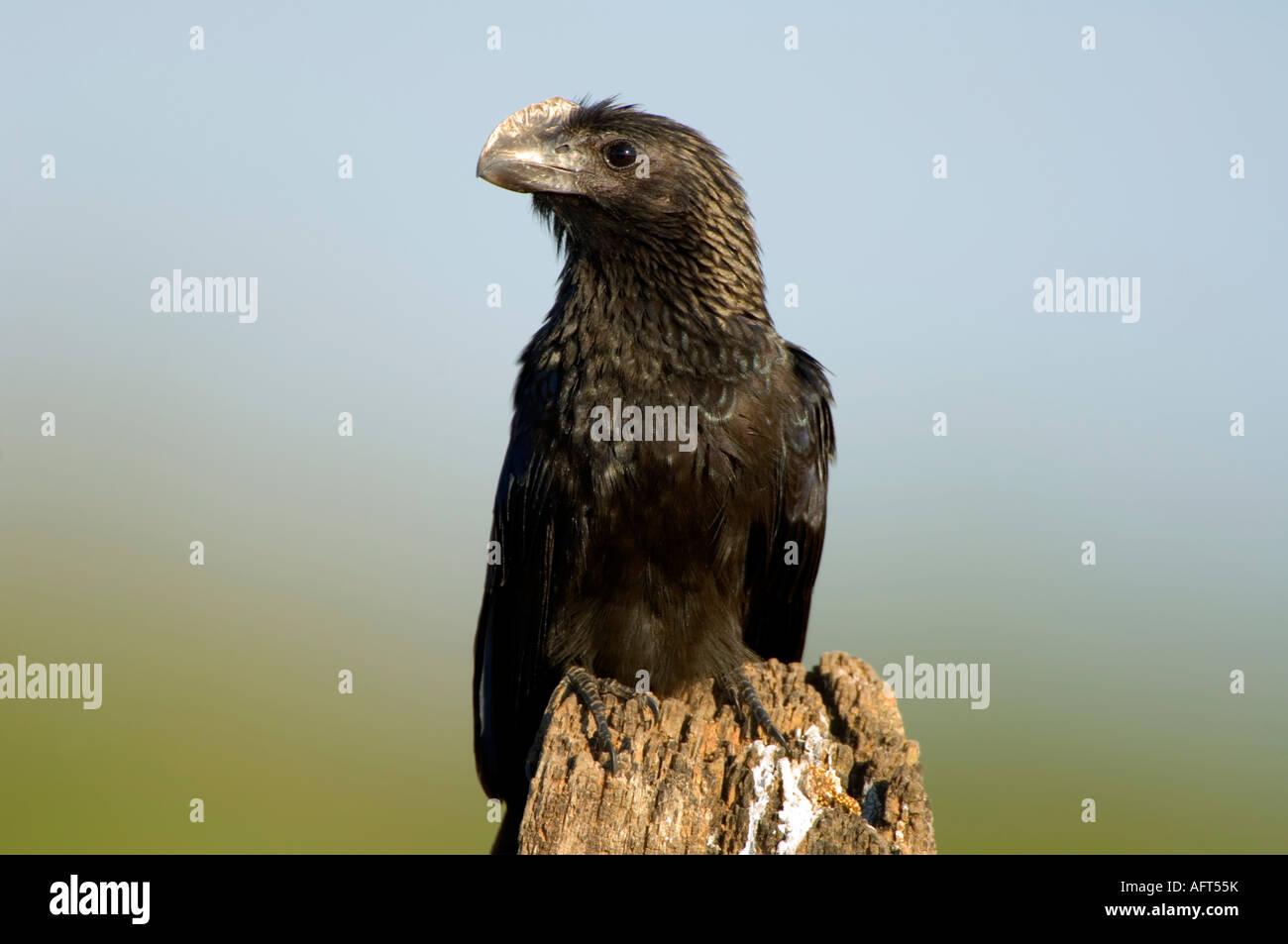 Smooth-billed Ani Crotophaga ani Pantanal Brazil - Stock Image
