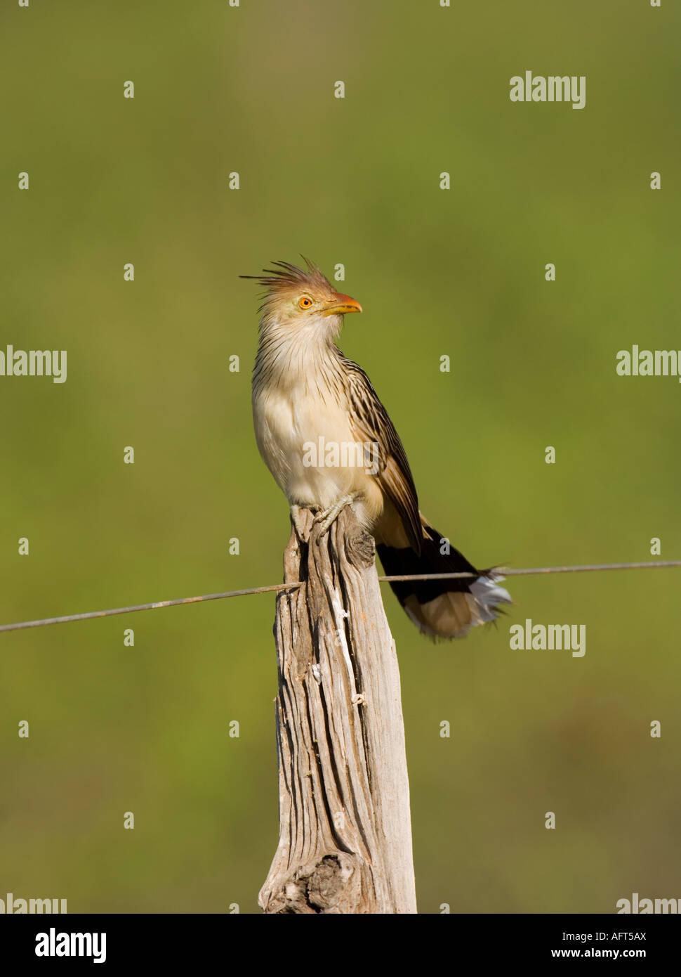 Guira Cuckoo Guira guira Pantanal Brazil - Stock Image