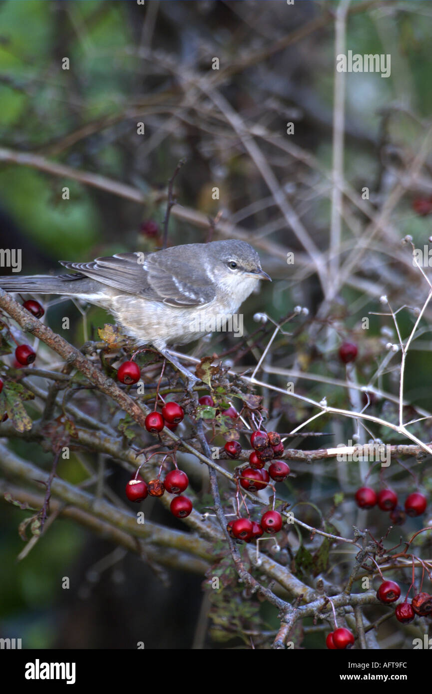 Barred Warbler (Sylvia nisoria) among red hawthorn berries - Stock Image