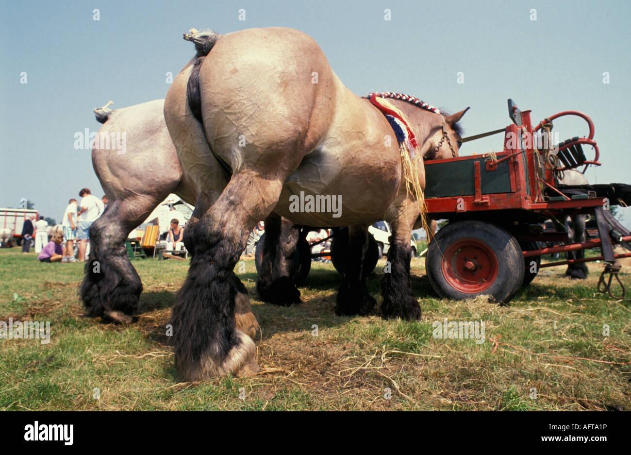 Netherlands Seroorskerke Belgium draft horses standing - Stock Image