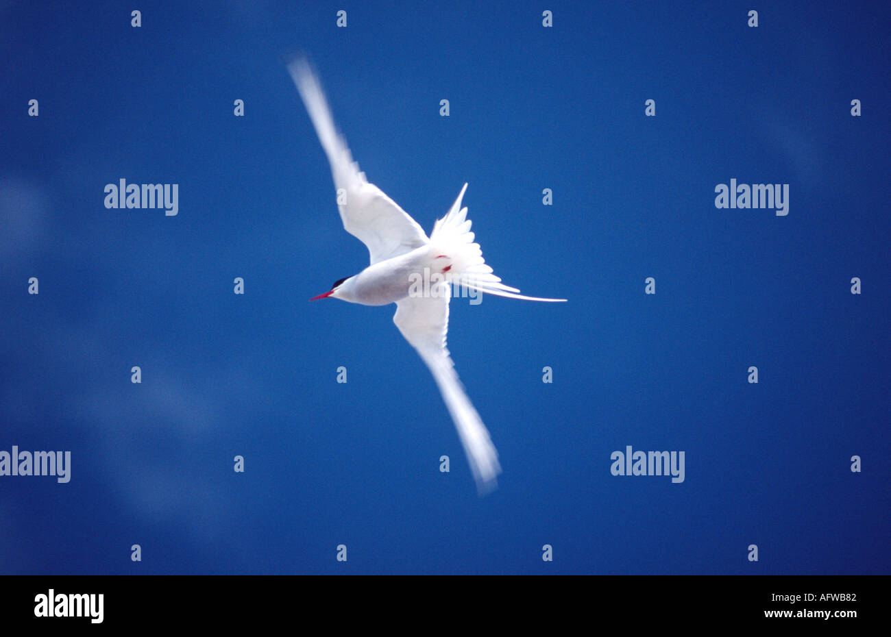 Arctic Tern in flight, Ireland Stock Photo