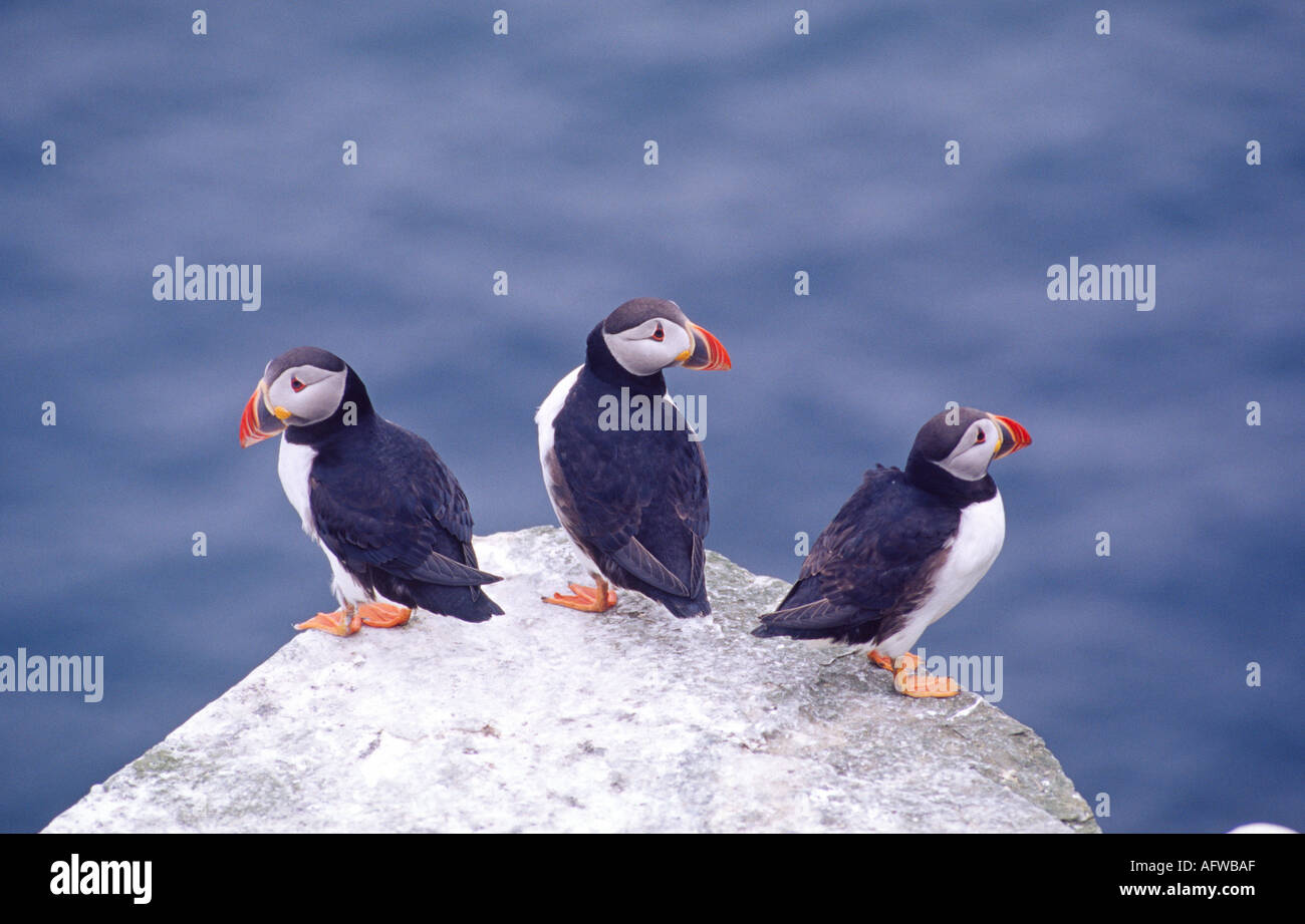 Puffins at Noup Head RSPB Reserve, Westray, Orkney Isles, Scotland - Stock Image