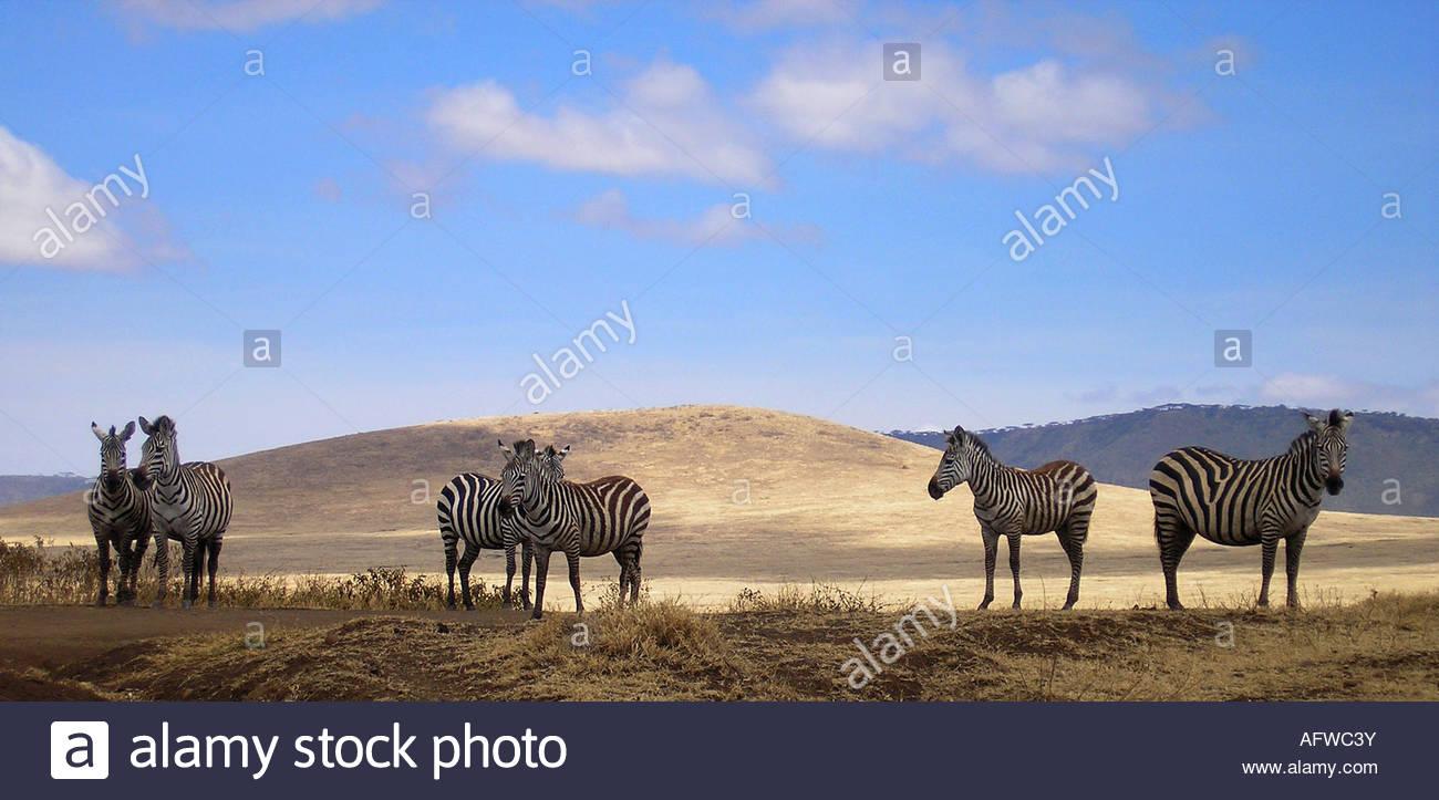 Zebras in NP Ngorongoro, Tanzania, Africa - Stock Image