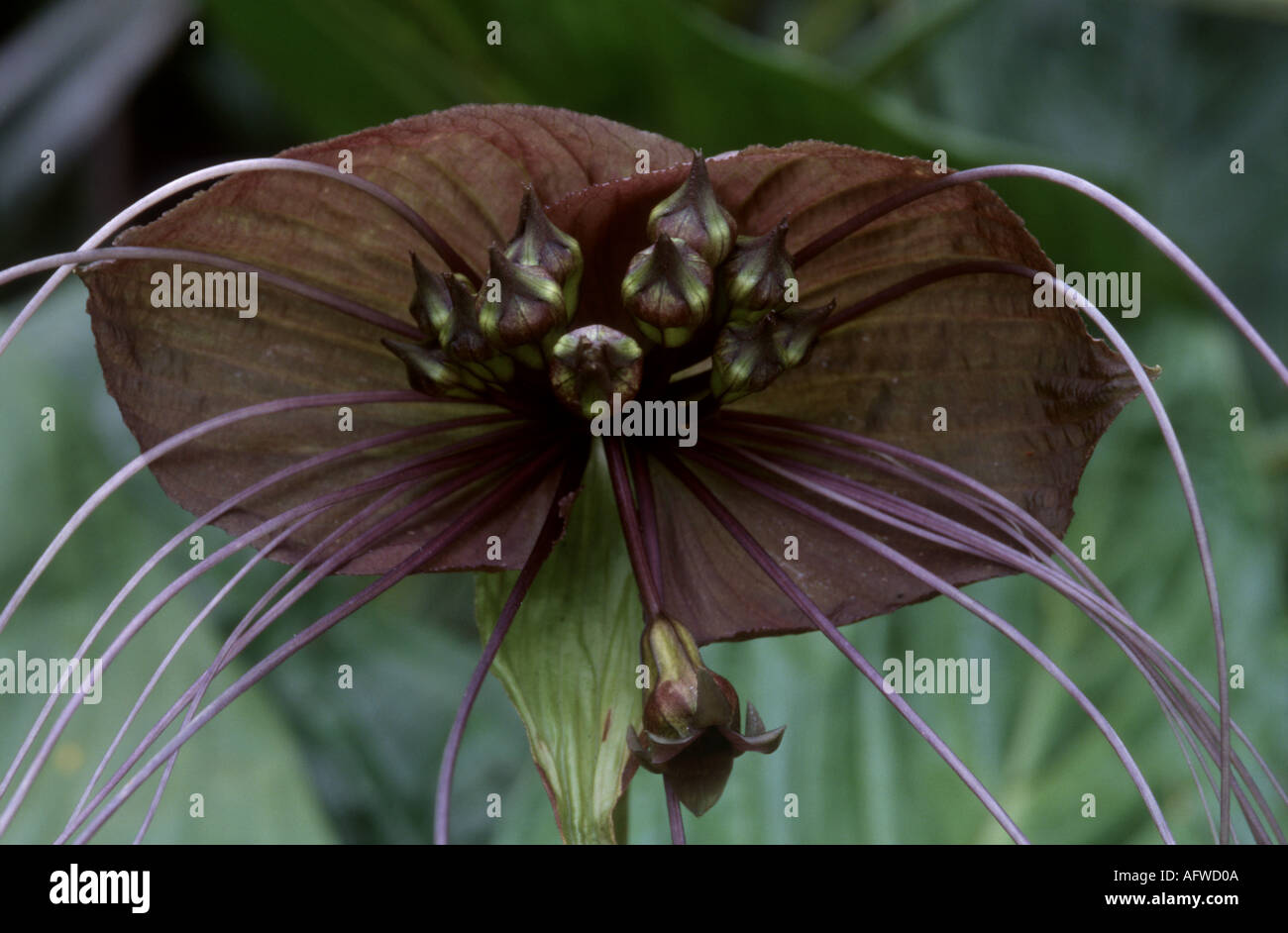 Black lily China Tacca chantrieri Stock Photo