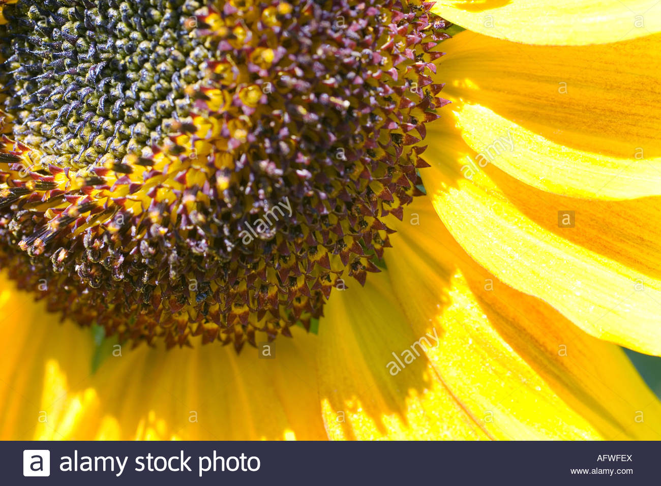 slunecnice / sunflower / helianthus annuus - Stock Image