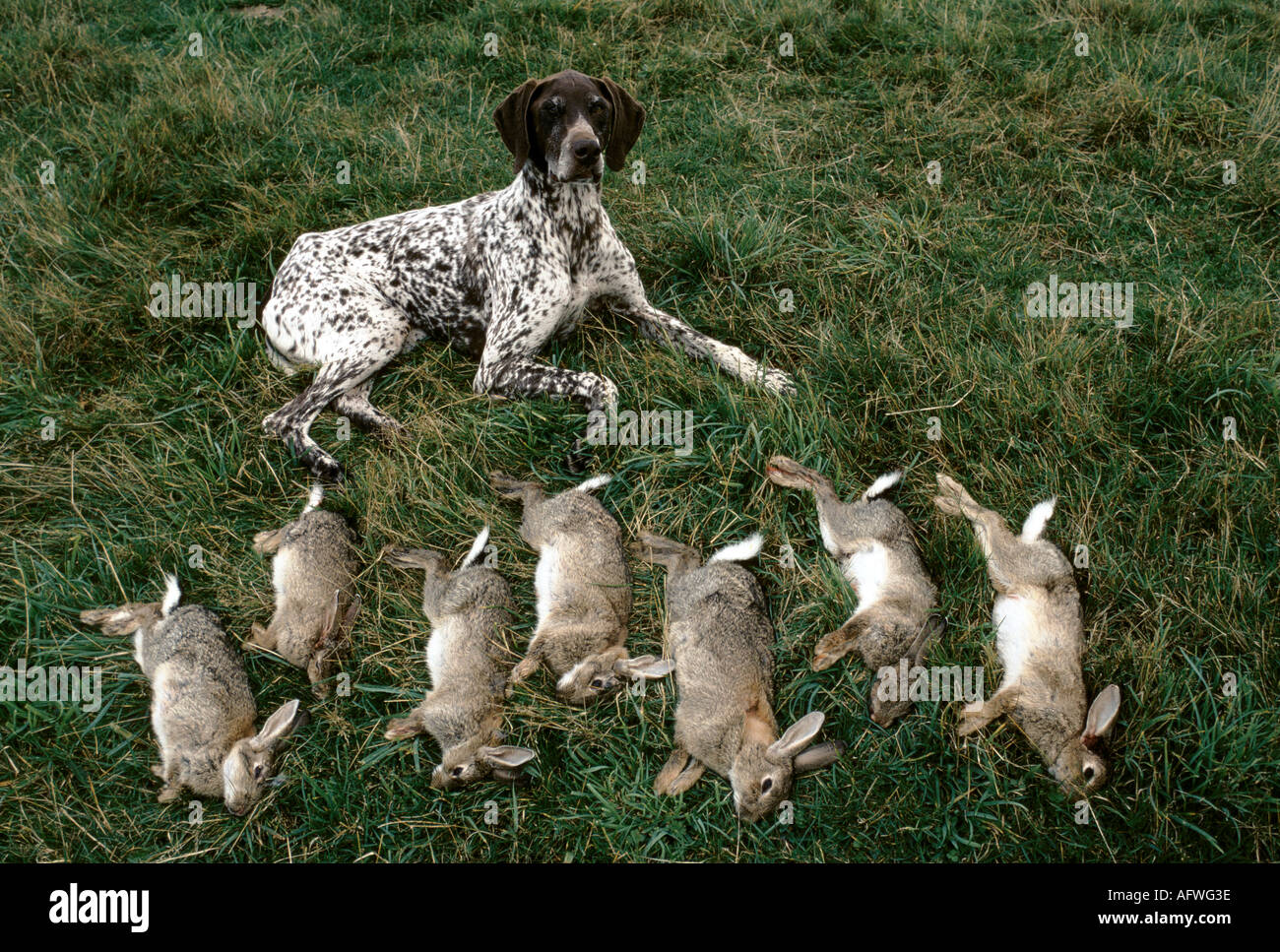 Working dog with rabbits Scotland HOMER SYKES - Stock Image