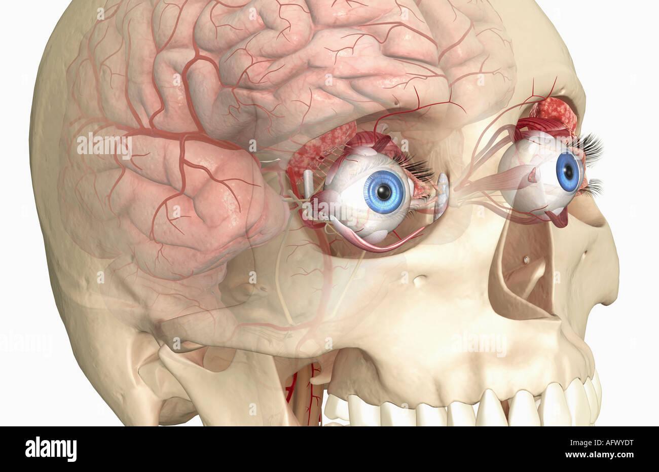 The lacrimal apparatus Stock Photo: 14030291 - Alamy