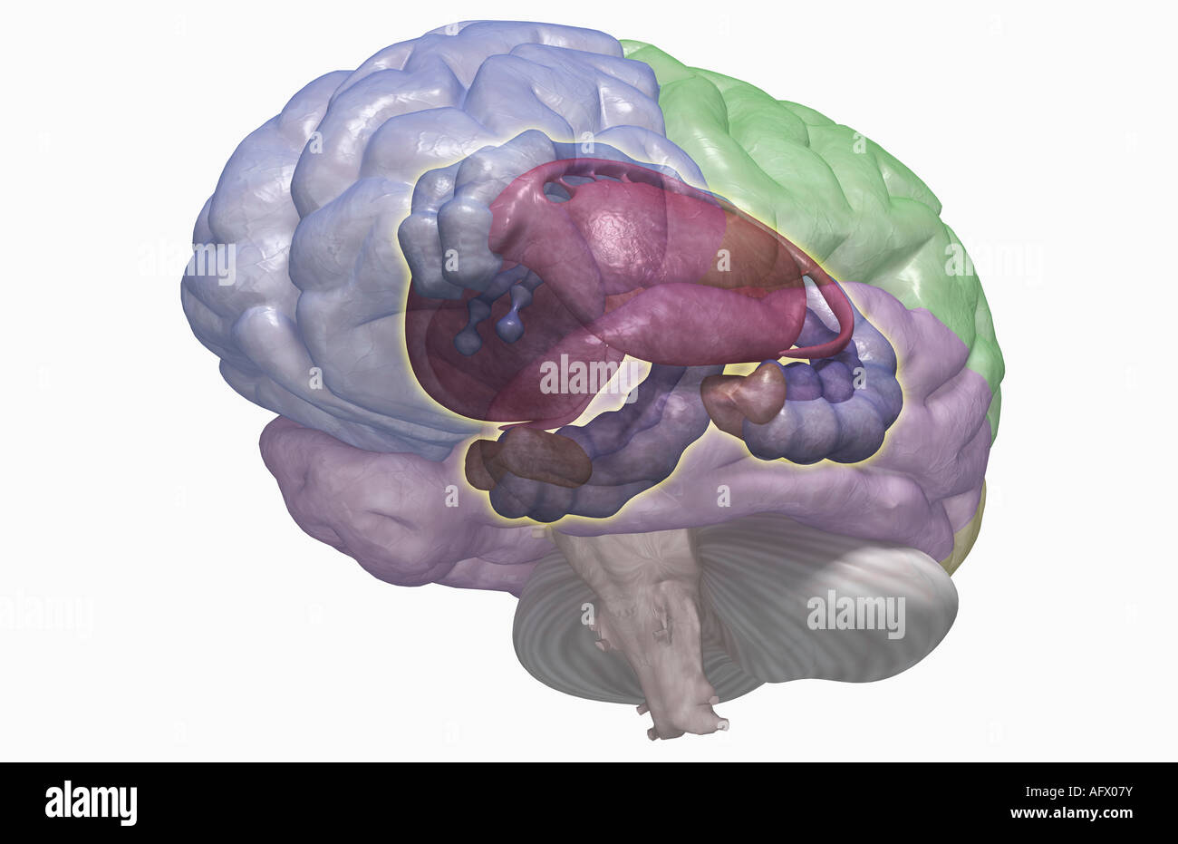 Limbic System Stock Photos & Limbic System Stock Images - Alamy