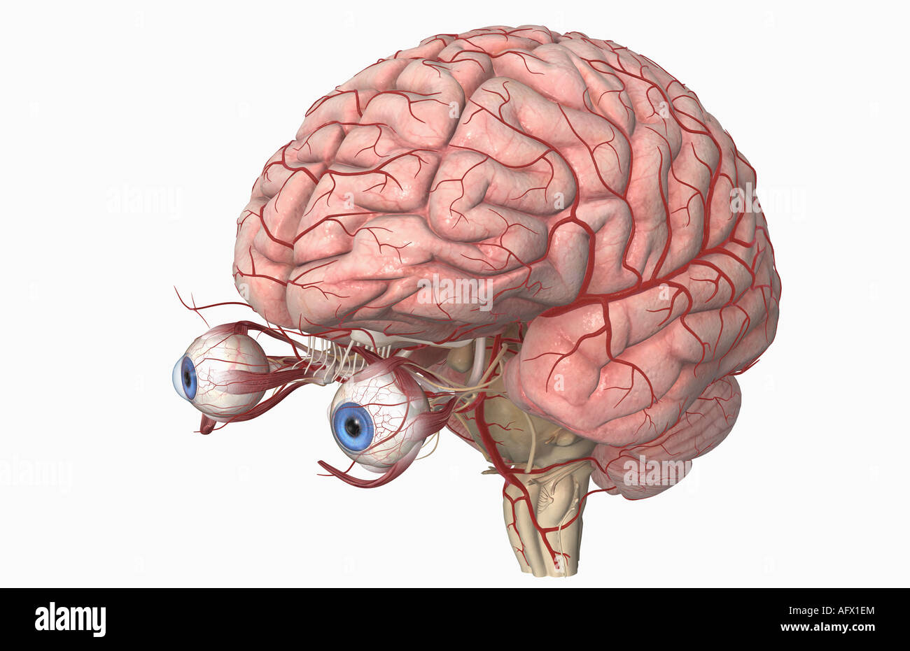 The arteries of the brain and eyes Stock Photo: 14030971 - Alamy