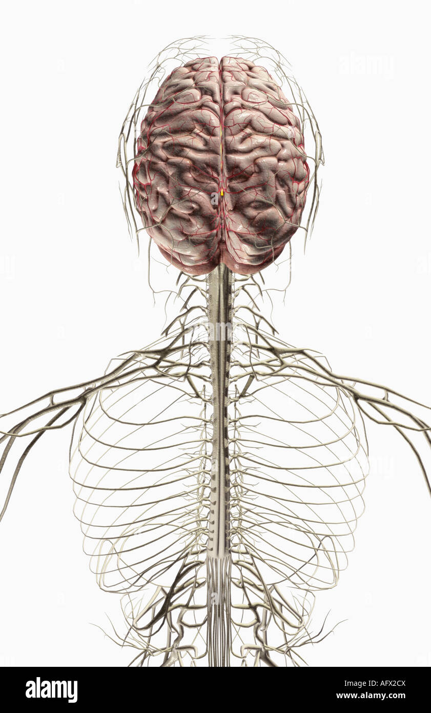 The Brain And Nerves Of The Head And Neck Stock Photo 14031289 Alamy