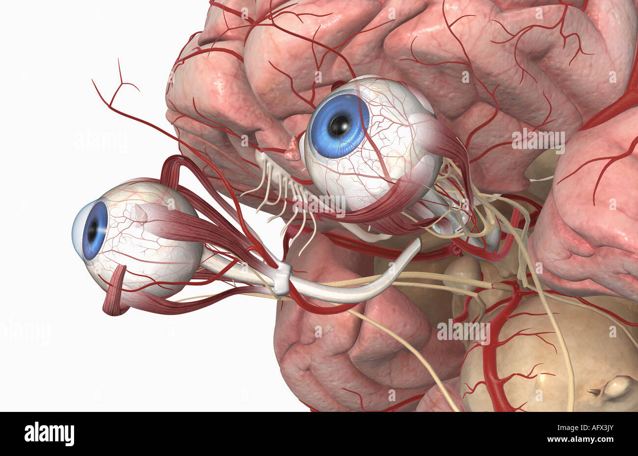 The arteries of the brain and eyes Stock Photo: 14031698 - Alamy