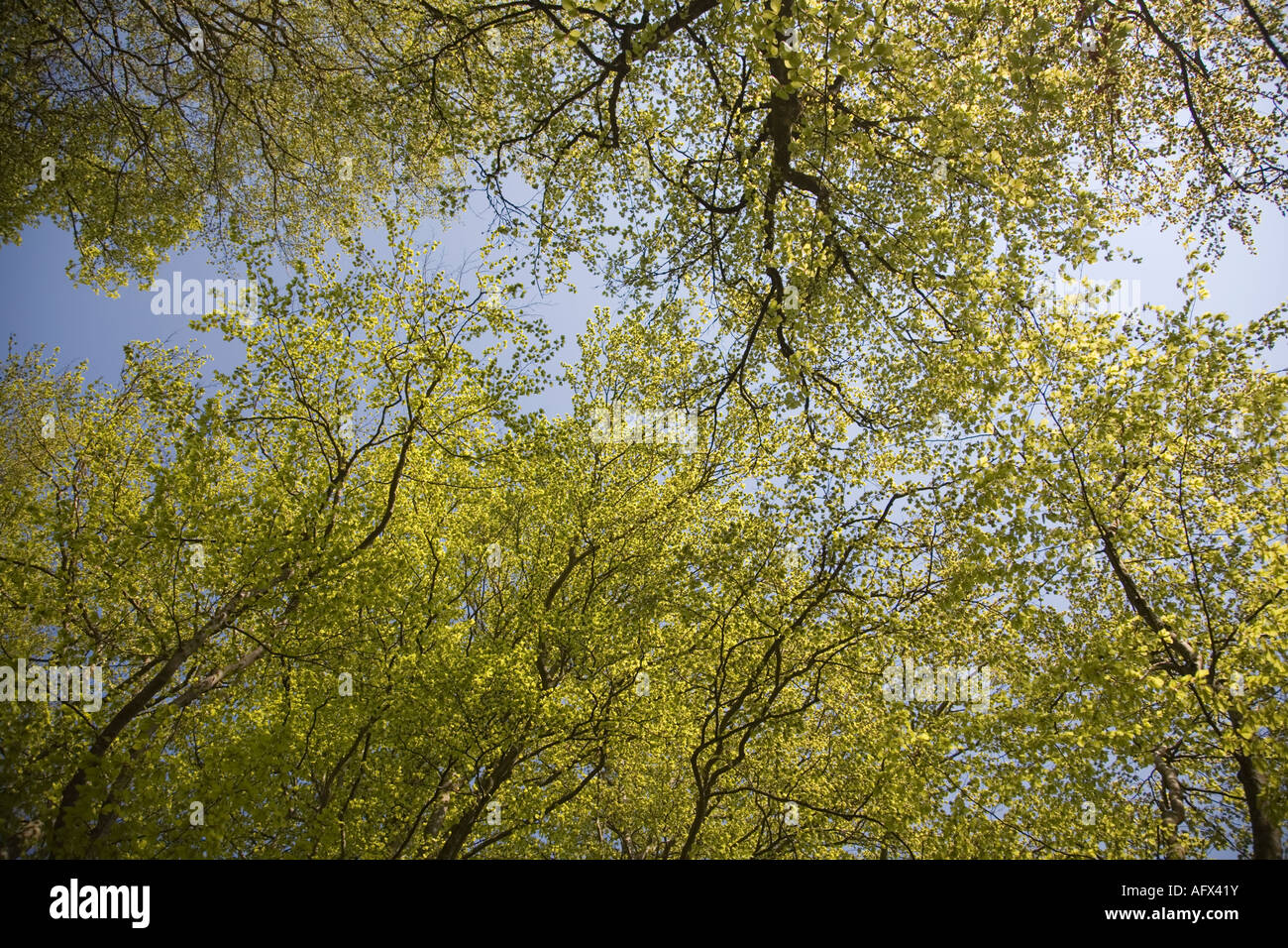 Sweden Sk ne Scania beech forest in spring May 2006 Stock Photo