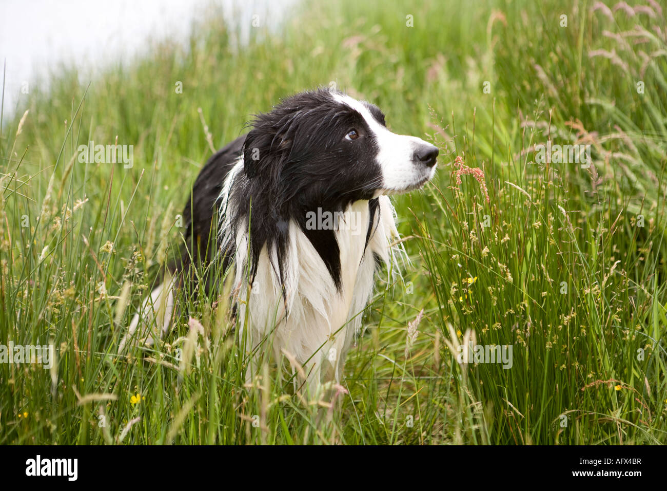 A mans best friend Dogs a wet Border Collie dog in the long summer grass - Stock Image