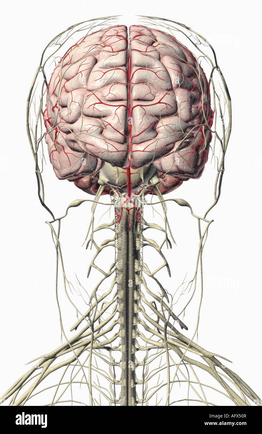 The brain and nerves of the head and neck Stock Photo: 14032150 - Alamy
