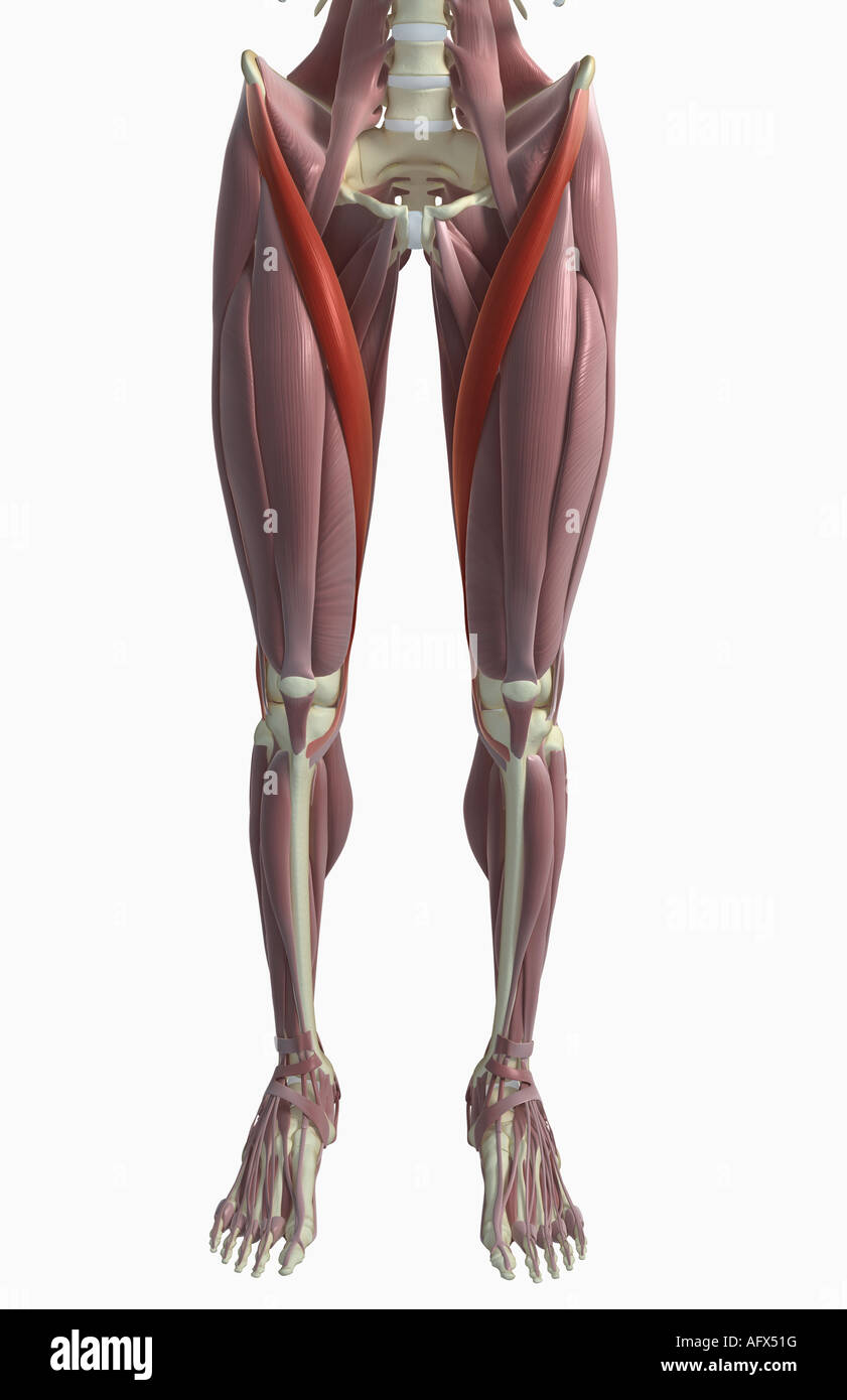 Sartorius Muscle Stock Photo 14032155 Alamy