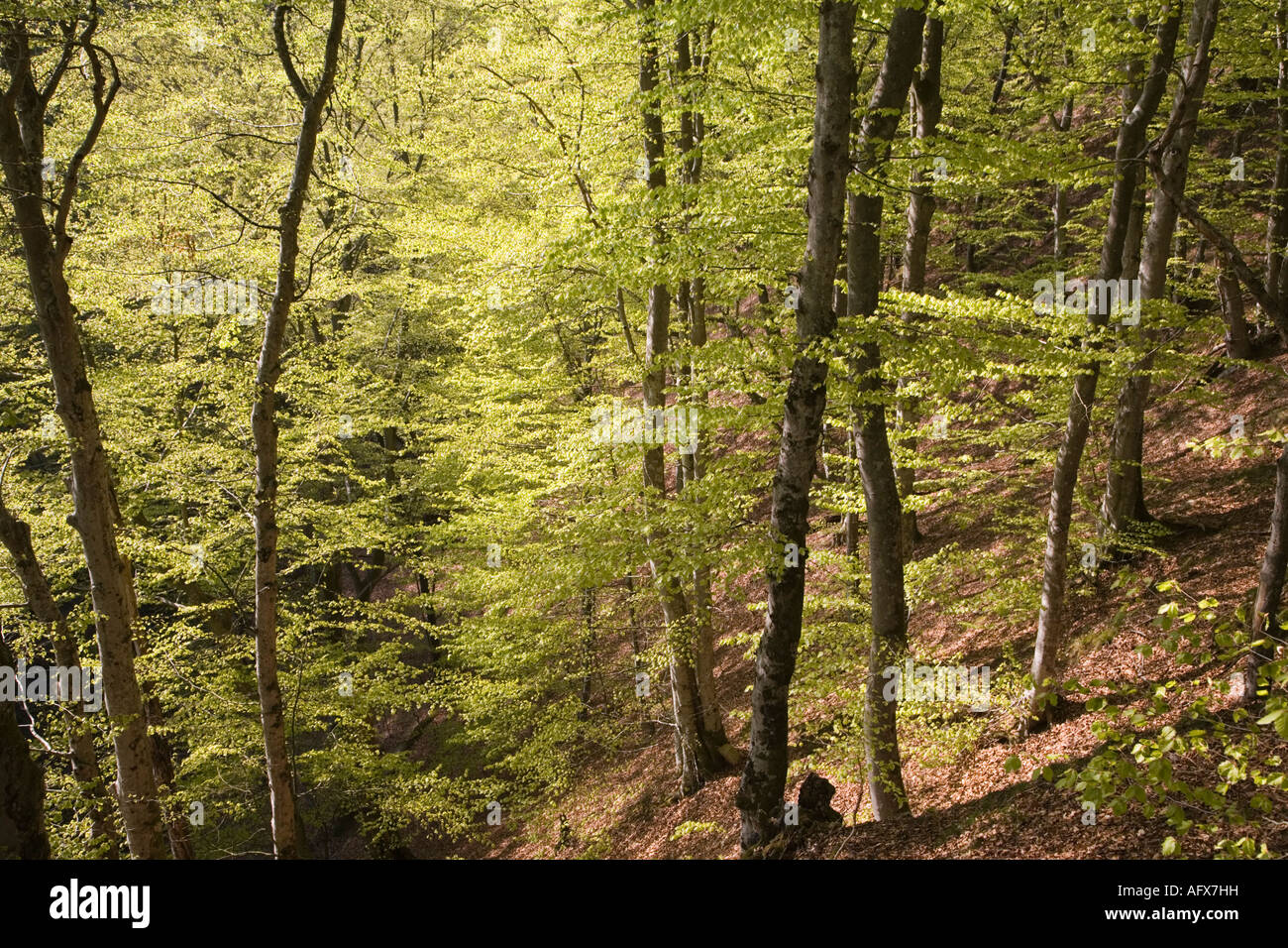 Sweden  Scania beech forest in spring May 2006 Stock Photo