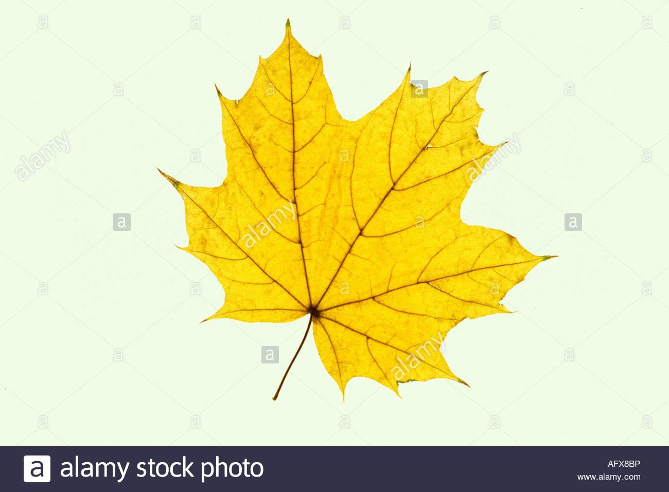 Sugar Maple leaf in autumn color Acer saccharum  USA - Stock Image