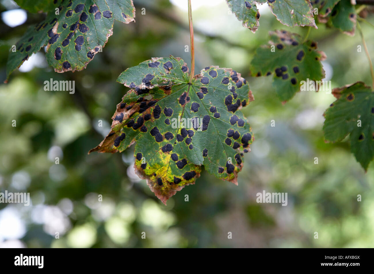 Rhytisma fungus fungal infection known as tar spots on sycamore tree green leaves - Stock Image