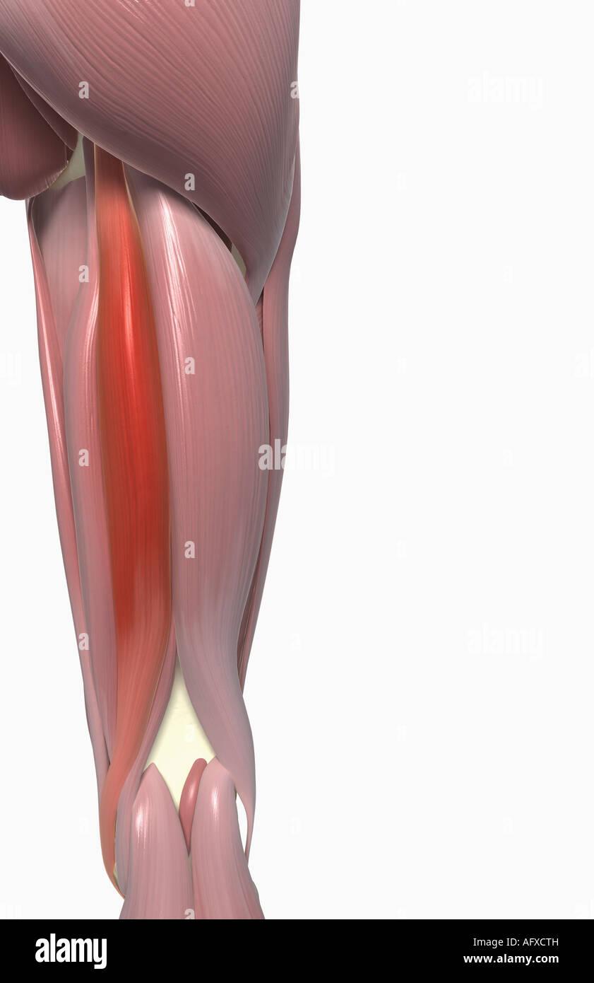 Semitendinosus muscle Stock Photo: 14034784 - Alamy