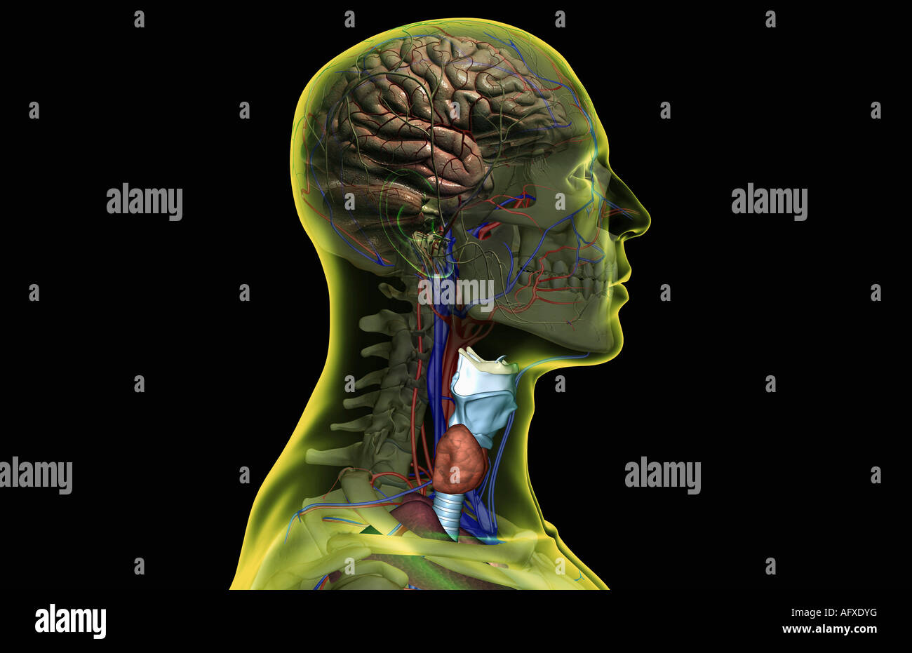 Nerve And Blood Supply Stock Photos & Nerve And Blood Supply Stock ...