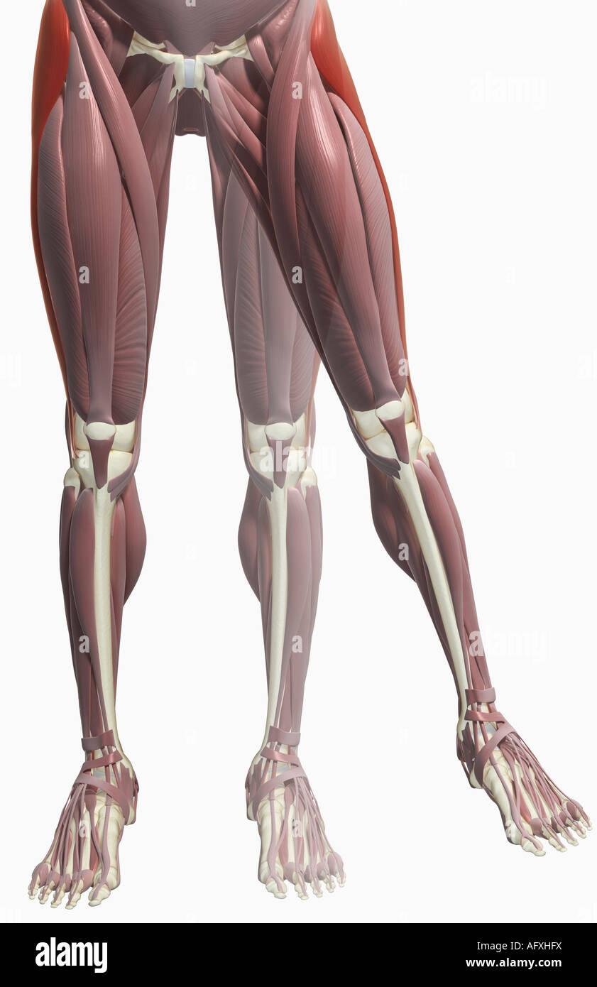 Thigh/lower limb abduction Stock Photo: 14036365 - Alamy