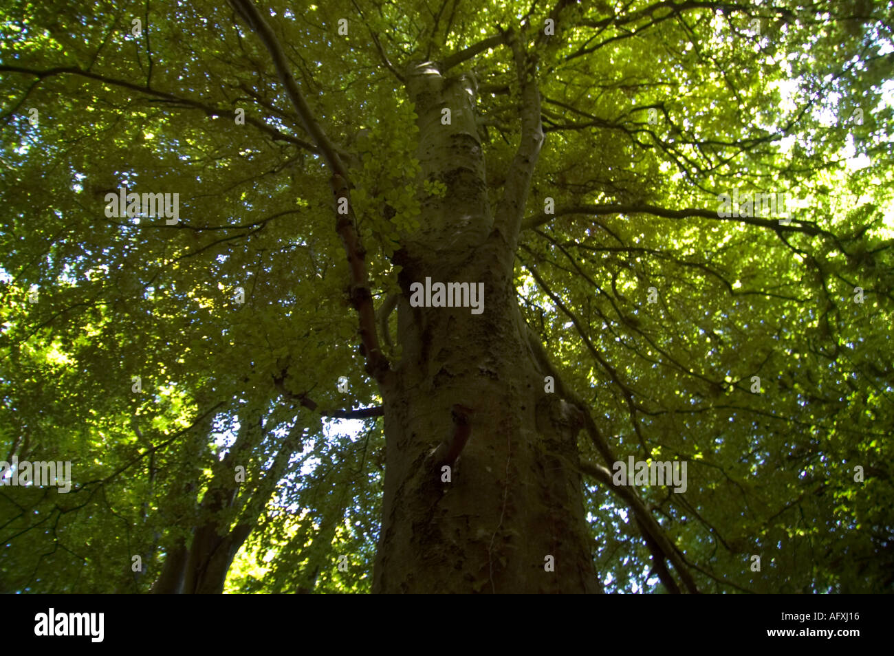 Towering beech tree in Undercliff national nature reserve Devon Stock Photo