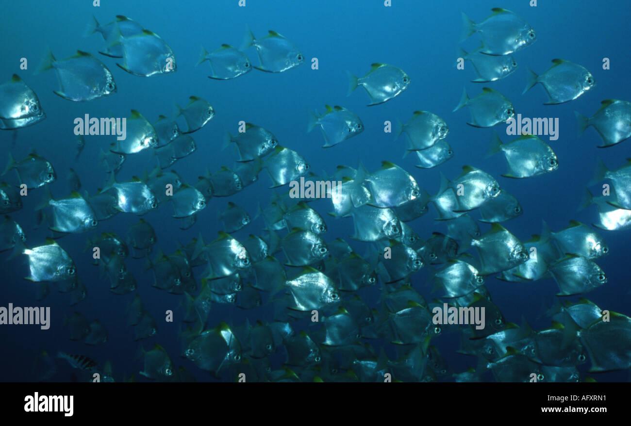 silver batfish stock photos silver batfish stock images alamy