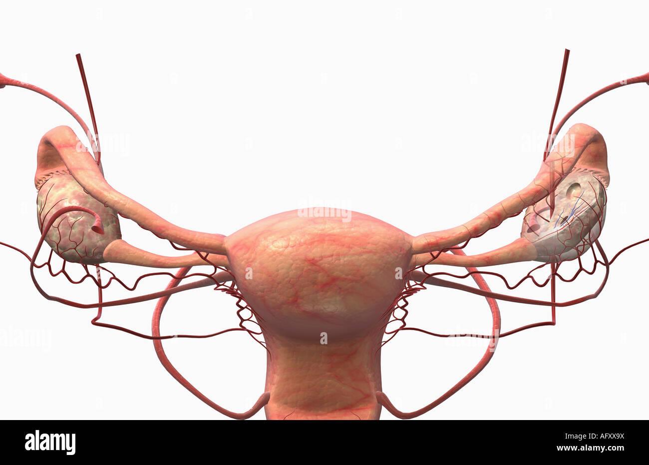 Uterosacral Ligament Stock Photos Uterosacral Ligament Stock