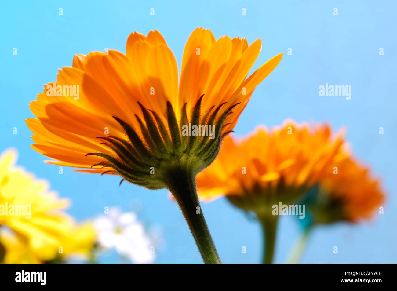 Orange Daisy Type Wild Flowers Stock Photo 14049088 Alamy