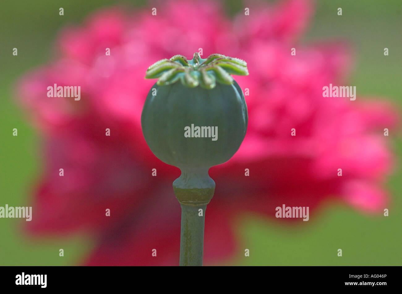Poppy Flower Seed Head Papaver Spp Stock Photo 14050701 Alamy