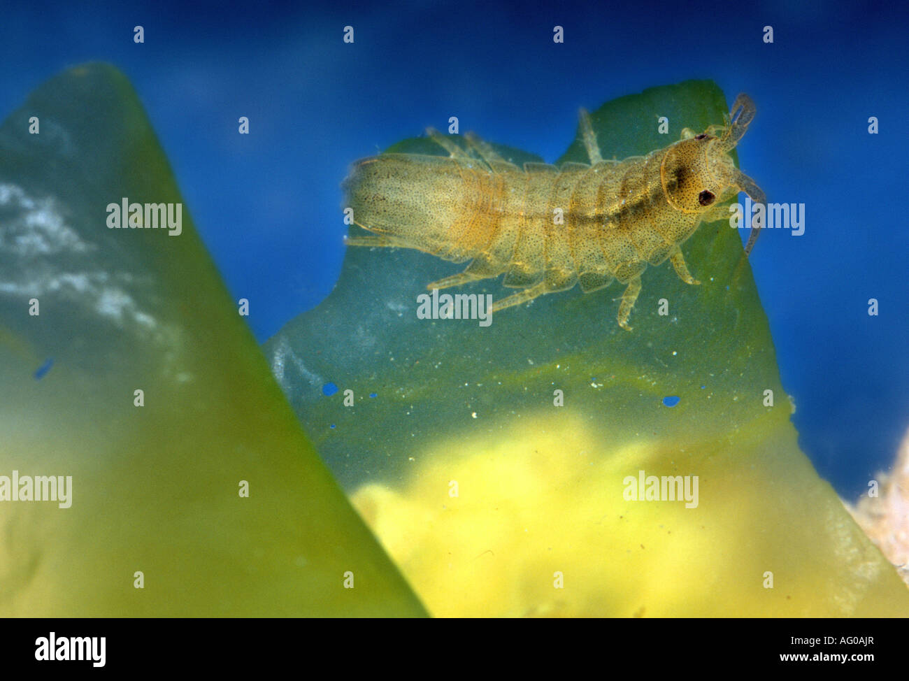 Amphipod Orchestia sp on seaweed Mediterranean - Stock Image