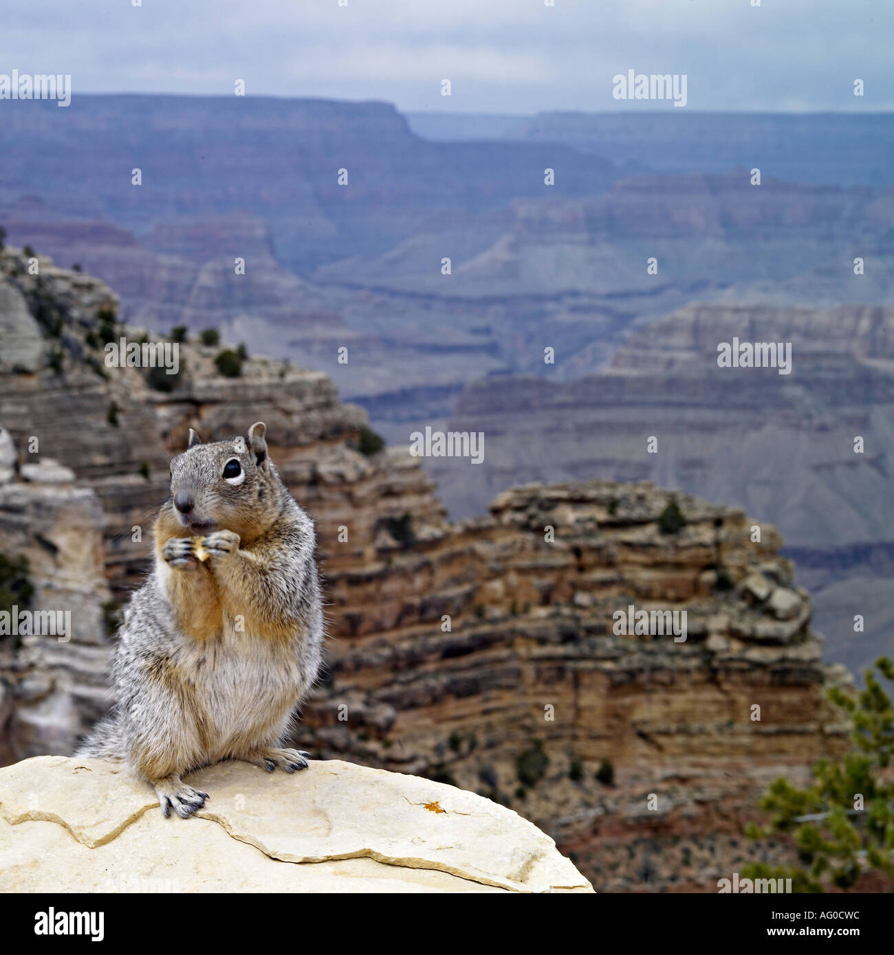 Squirrel in front of Grand Canyon view, Arizona - Stock Image