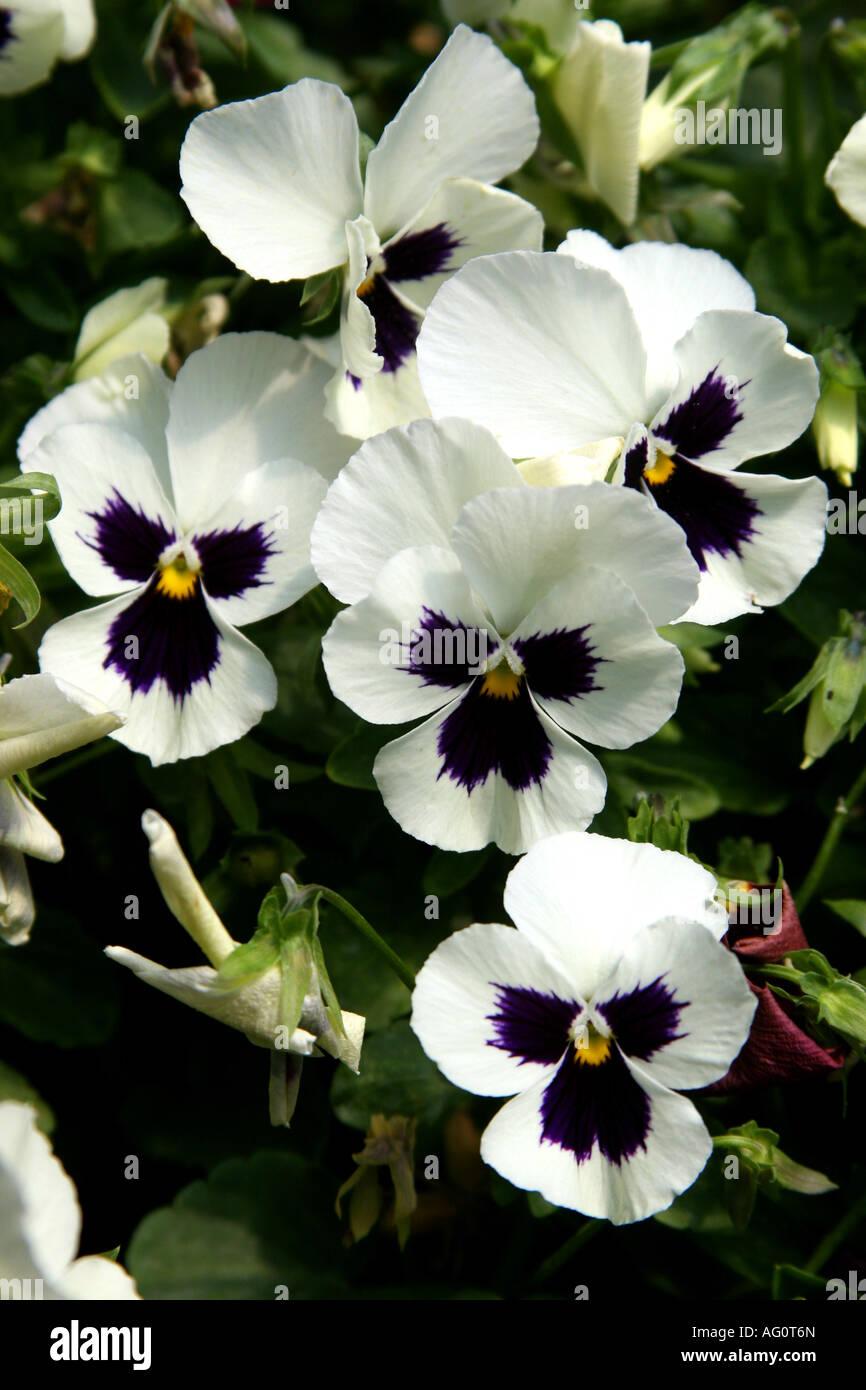 White pansies flowers seen at boquete s flower fair viola tricolor white pansies flowers seen at boquete s flower fair viola tricolor hortensis mightylinksfo