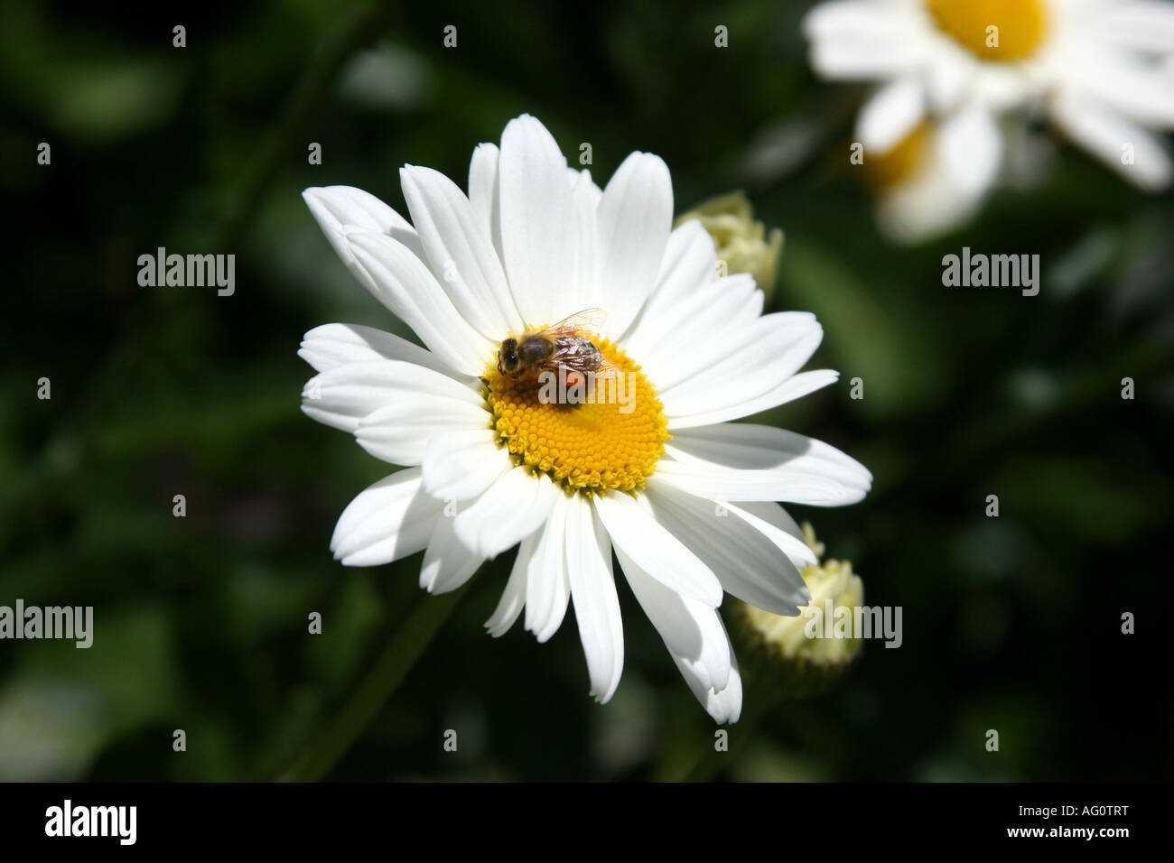 Bellis Perennis Or Daisy Flowers Seen At Boquete Flower Fair At