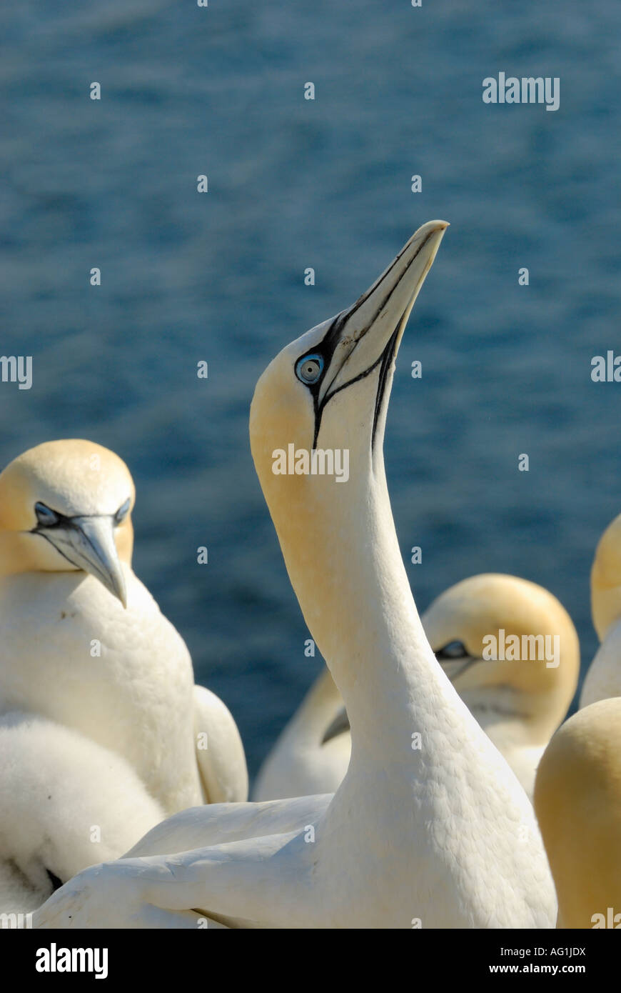 Northern Gannet, Morus bassanus, neck stretching, Bass Rock, Firth of Forth, Scotland - Stock Image