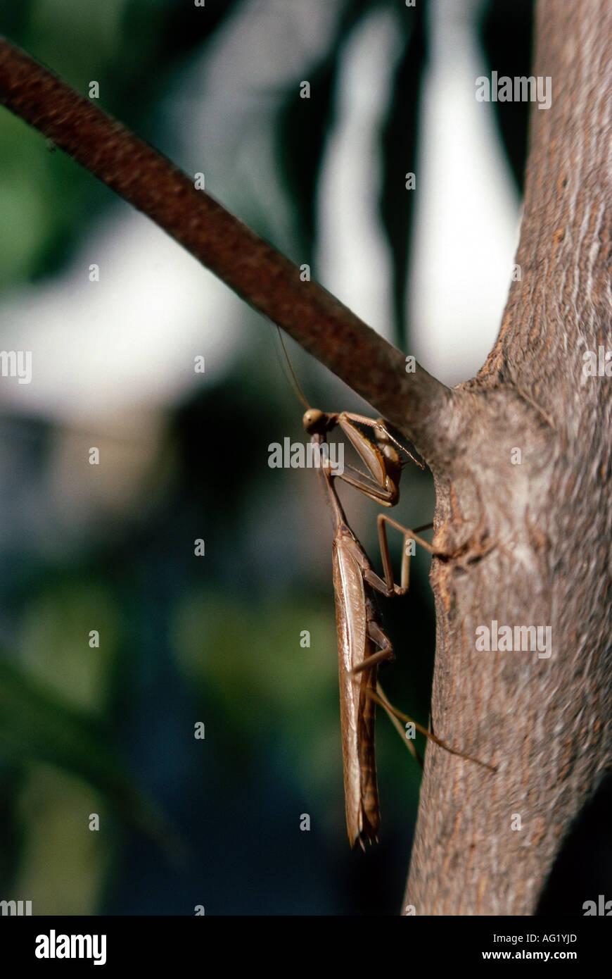 zoology / animals, insect, Mantidae, European mantis (Mantis religiosa), sitting, bole, distribution: Southern Europe, Neoptera, - Stock Image