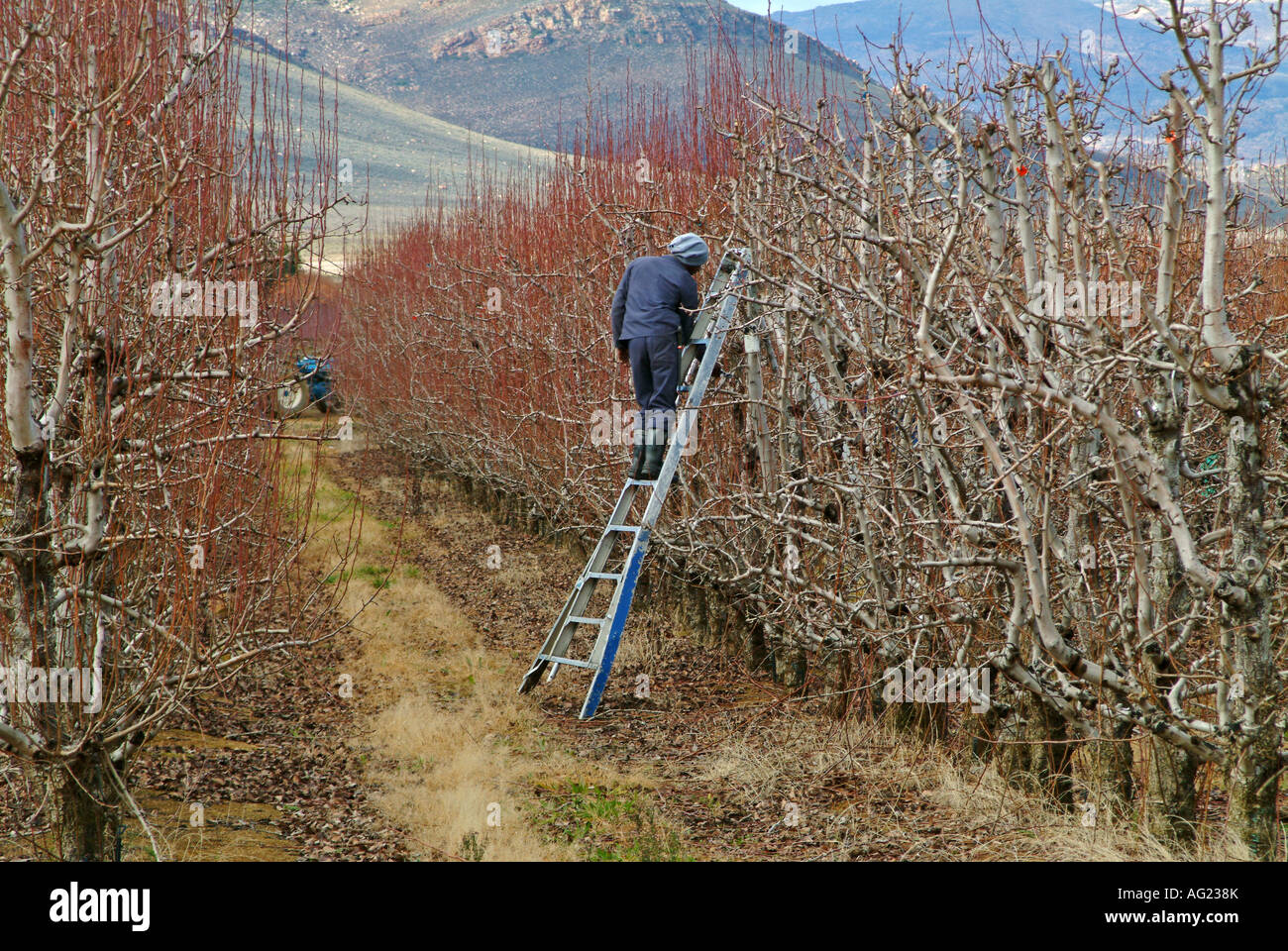 A farm worker stands atop a ladder to reach the upper parts of the trees he is pruning - Stock Image