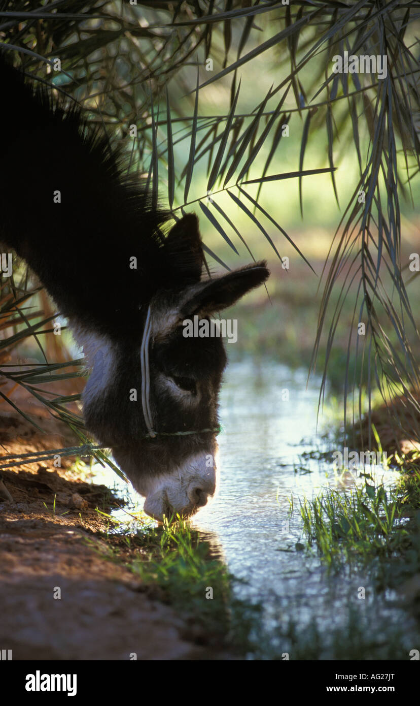 Algeria Timimoun Donkey drinking water in irrigation canal - Stock Image