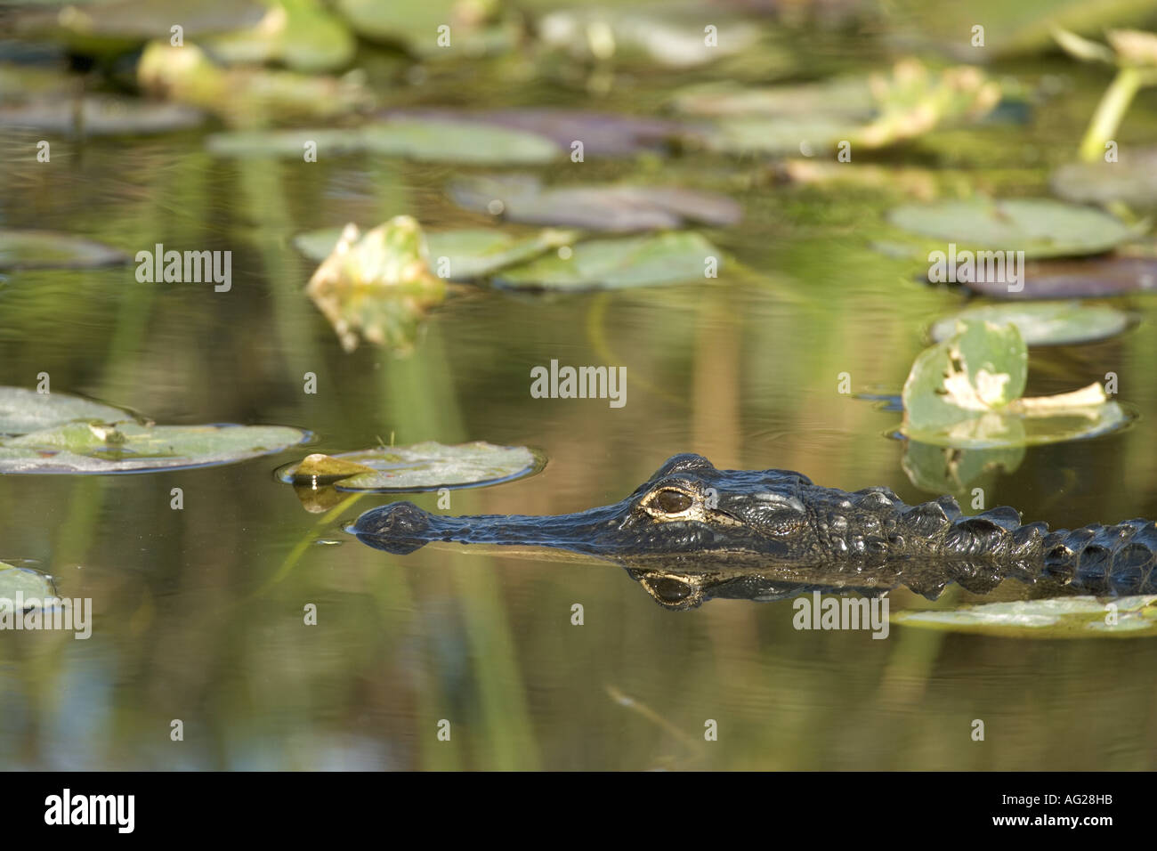 zoology / animals, reptile, Alligatoridae, American Alligator(Alligator mississippiensis), swimming in water, detail: head, Everglades, national park, Florida, USA, distribution: southern states of North America, Additional-Rights-Clearance-Info-Not-Available - Stock Image
