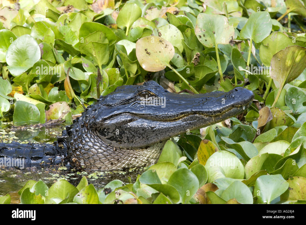 zoology / animals, reptile, Alligatoridae, American Alligator (Alligator mississippiensis), swimming in water, detail: head, Everglades, national park, Florida, USA, distribution: southern states of North America, Additional-Rights-Clearance-Info-Not-Available - Stock Image