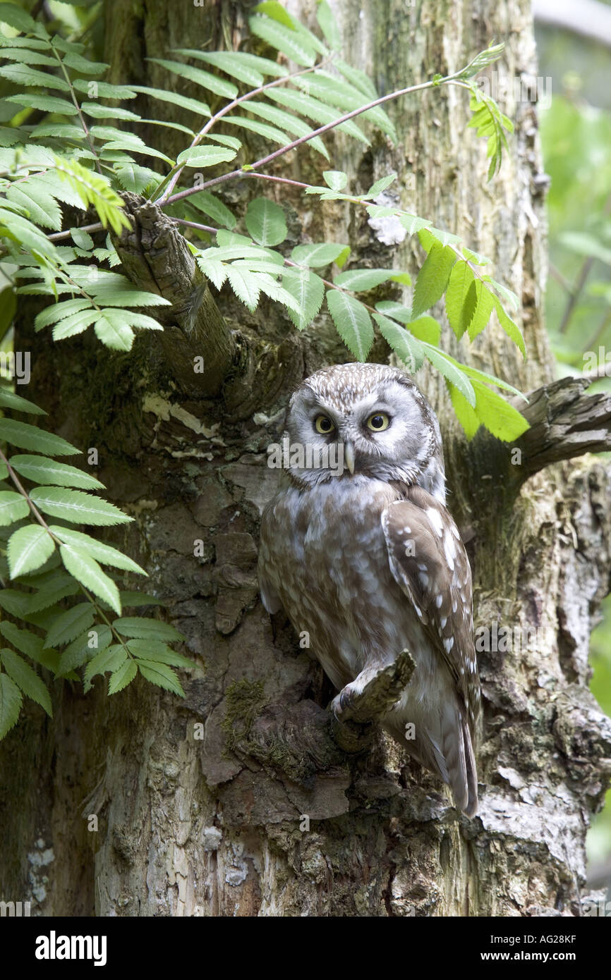 zoology / animals, avian / bird, Strigidae, Tengmalm's Owl (Aegolius funereus), sitting on branch, national park, Bavarian Forest, Germany, distribution: Europe, Asia, North America, Additional-Rights-Clearance-Info-Not-Available - Stock Image