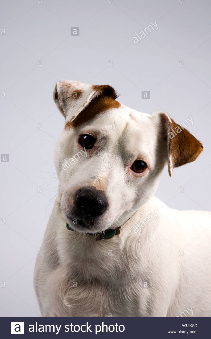 jack russel head shot - Stock Image