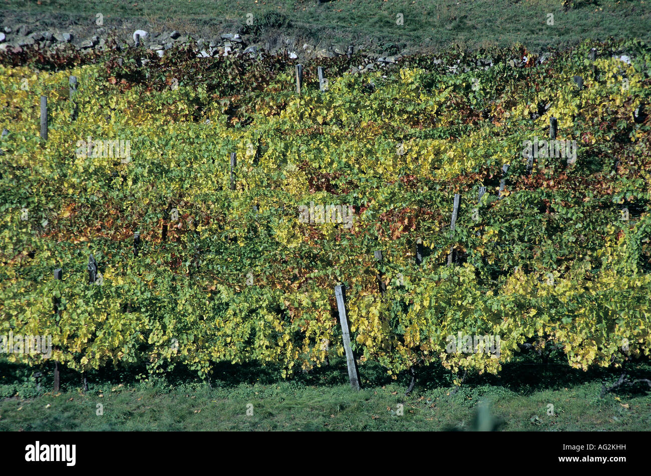 Weinberg im Herbst vineyard in autumn Stock Photo
