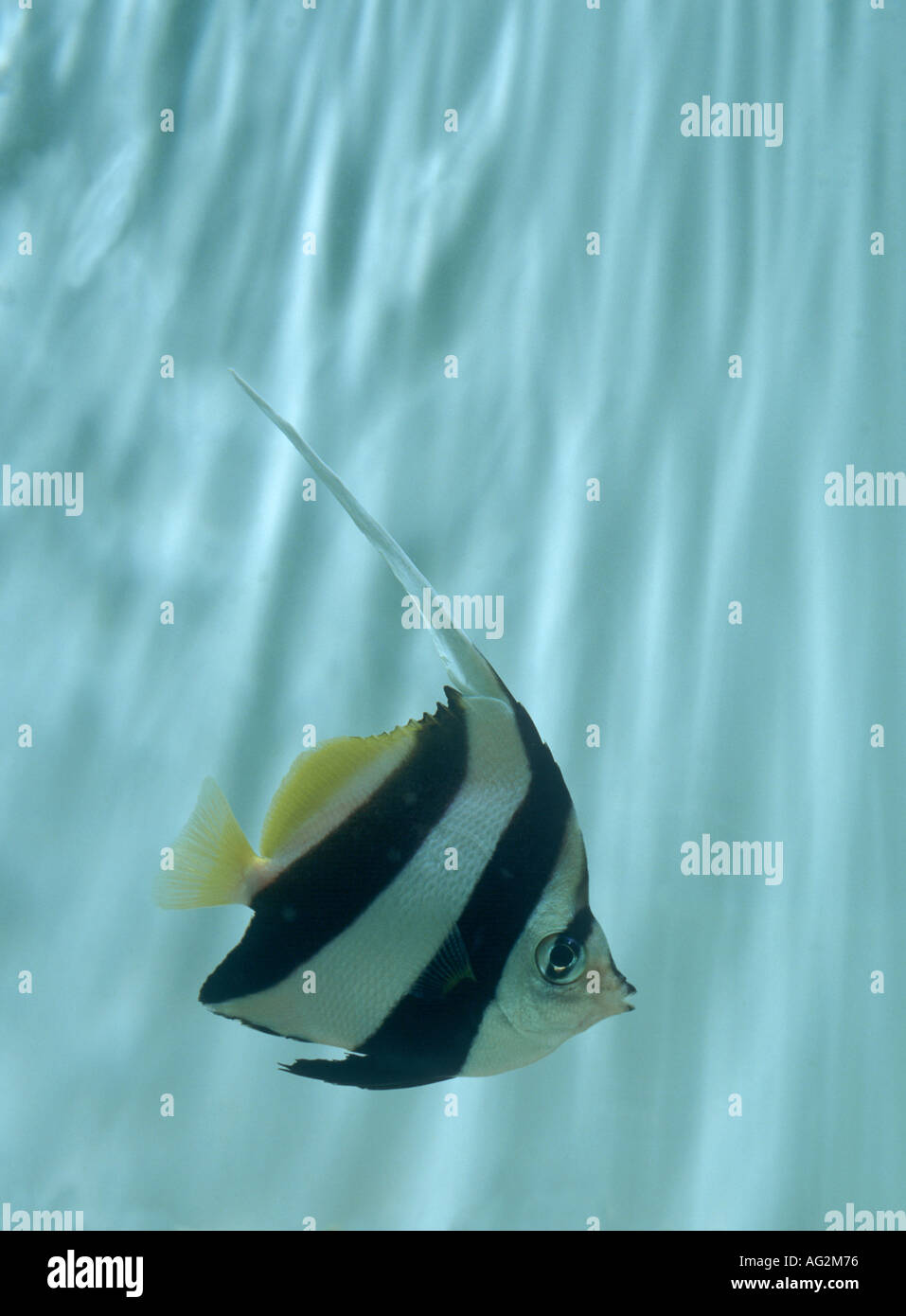 Longfin bannerfish or pennant coralfish - Stock Image