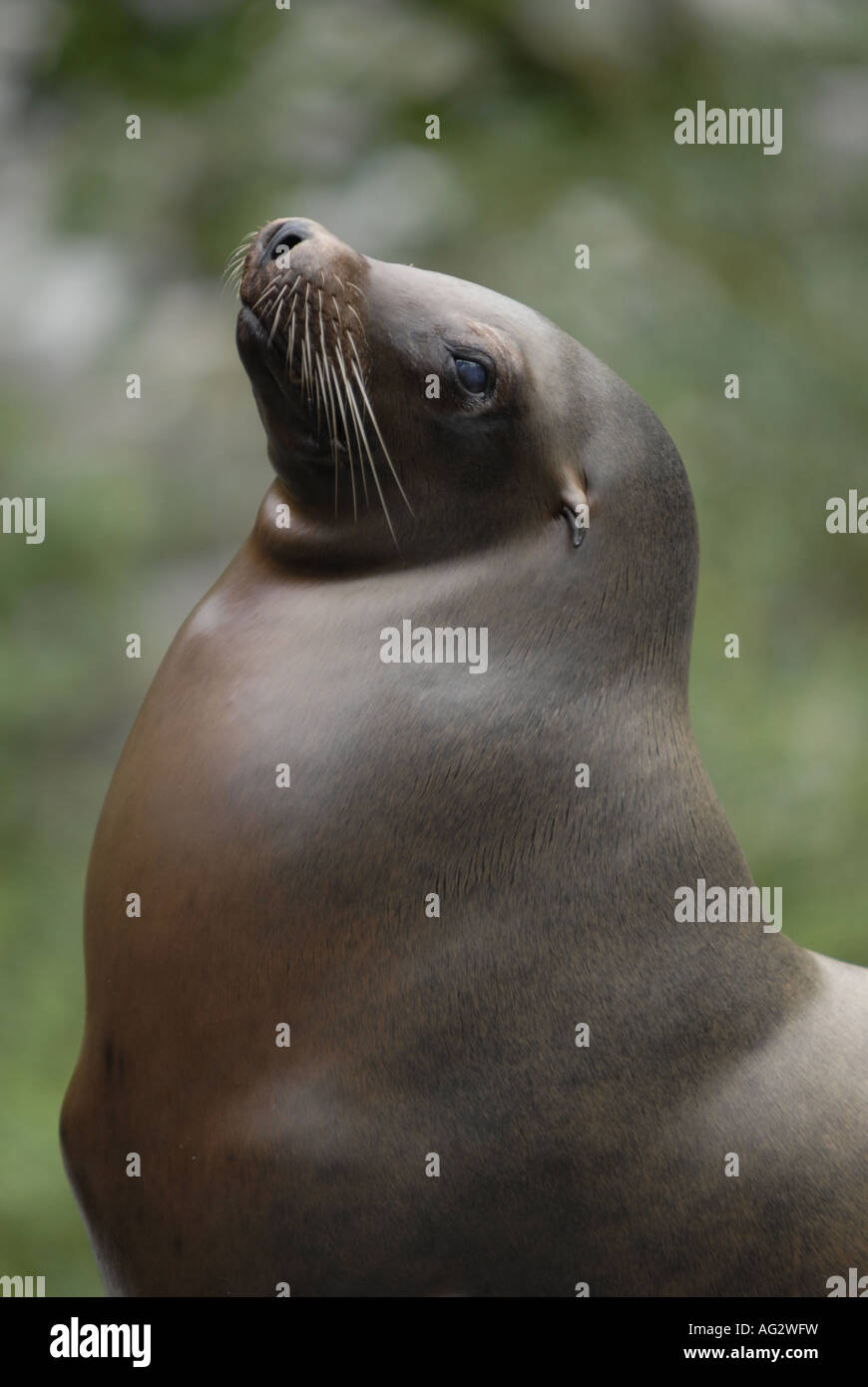 Seal posing after a dive Stock Photo