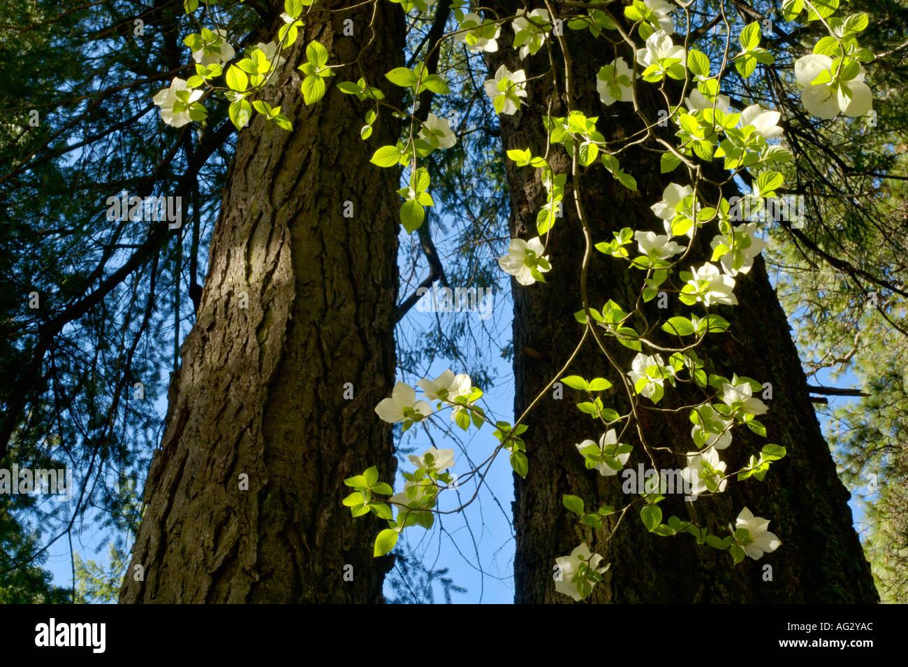 Dogwood tree flowers blossom in spring yosemite valley yosemite dogwood tree flowers blossom in spring yosemite valley yosemite national park california mightylinksfo