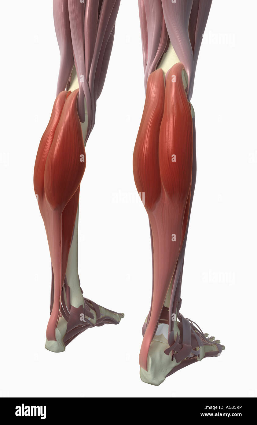 Gastrocnemius muscle Stock Photo: 14079465 - Alamy