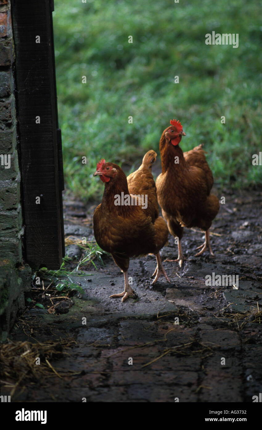 Free range organic chickens on a small holding in Hampshire UK - Stock Image