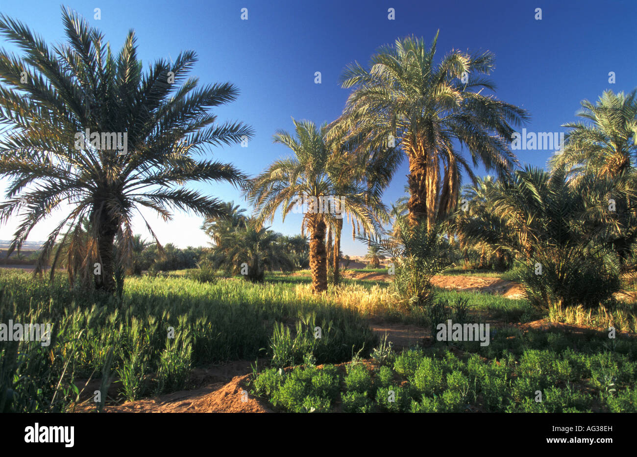 Algeria Timimoun Date palm tree in oasis - Stock Image