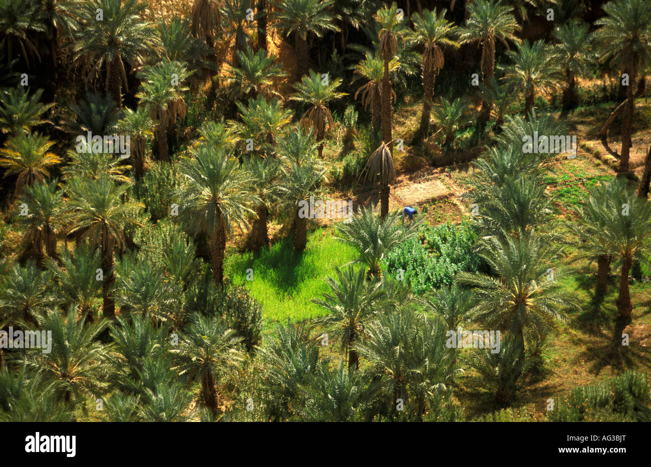 Algeria Taghit Man working on oasis garden Wheat under palm trees - Stock Image